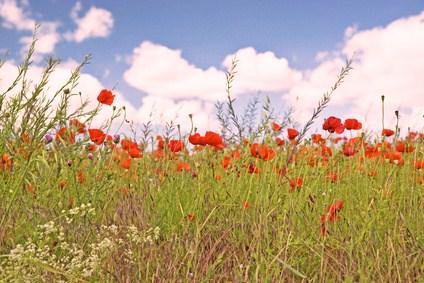 Champs fleurs sauvages